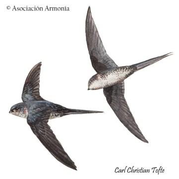 Fork-tailed Palm-Swift (Tachornis squamata)
