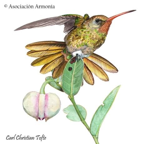 Gilded Hummingbird (Hylocharis chrysura)