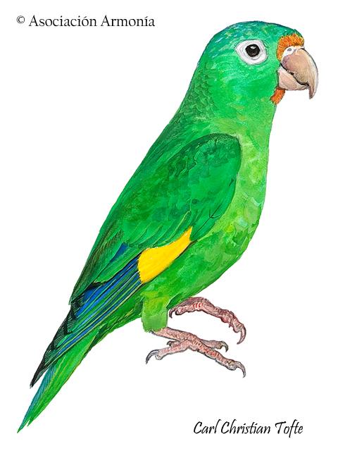 Golden-winged Parakeet (Brotogeris chrysoptera)