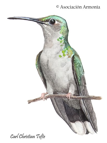 Gray-breasted Sabrewing (Campylopterus largipennis)