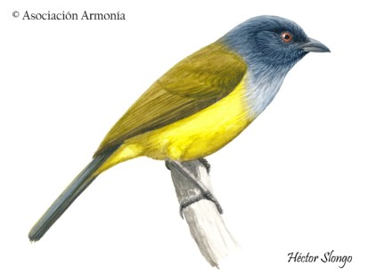 Gray-hooded Bush-Tanager (Cnemoscopus rubrirostris)