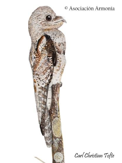 Great Potoo (Nyctibius grandis)