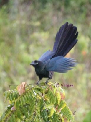 Greater Ani (Crotophaga major) Copyright S Vargas