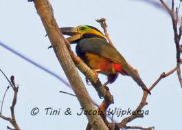 Golden-collared Toucanet (Selenidera reinwardtii). Copyright T&J Wijpkema.