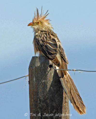 Guira Cuckoo (Guira guira). Copyright T&J Wijpkema.