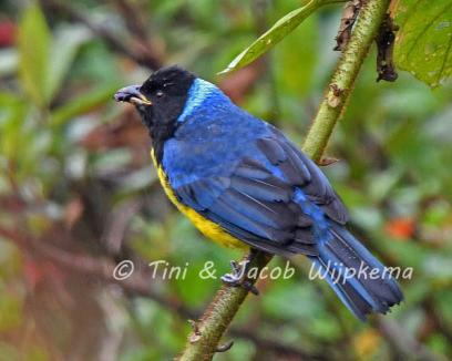 Hooded Mountain Tanager (Buthraupis montana). Copyright T&J Wijpkema.