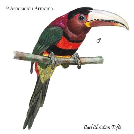Ivory-billed Aracari (Pteroglossus azara)