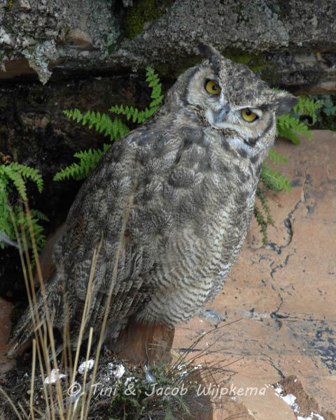Lesser Horned Owl (Bubo virginianus magellanicus). Copyright T&J Wijpkema.