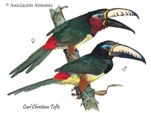 Lettered Aracari (Pteroglossus inscriptus)