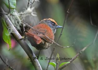 Light-crowned Spinetail