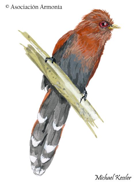 Little Cuckoo (Coccycua minuta).