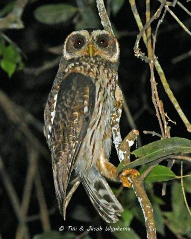 Mottled Owl (Ciccaba virgata). Copyright T&J Wijpkema.