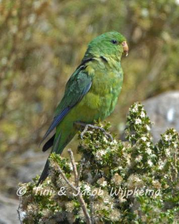 Mountain Parakeet (Psilopsiagon aurifrons). Copyright T&J Wijpkema.