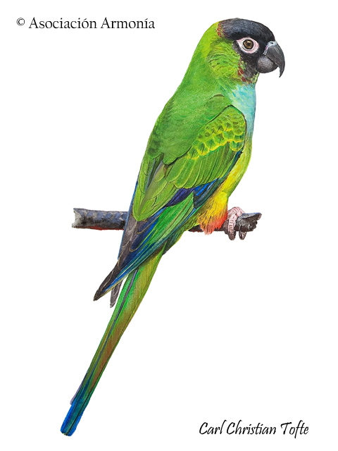 Nanday Parakeet (Aratinga nenday)