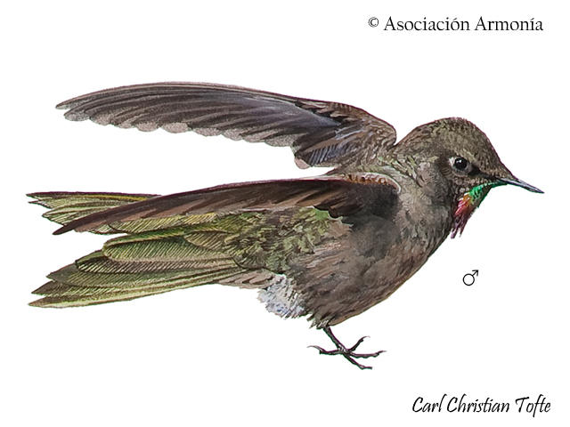 Olivaceous Thornbill (Chalcostigma olivaceum)