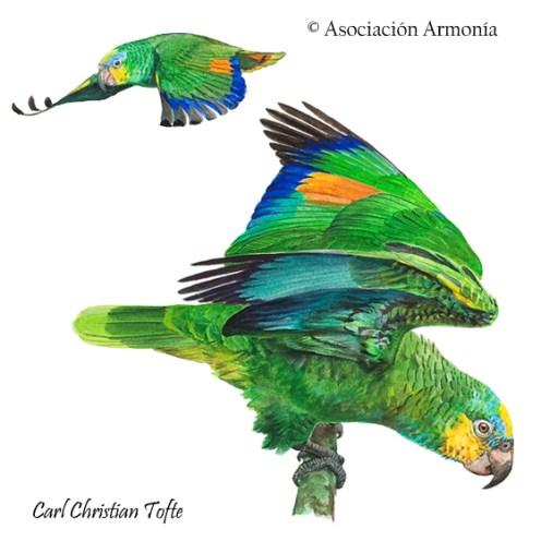 Orange-winged Parrot (Amazona amazonica)