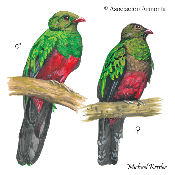 Pavonine Quetzal (Pharomachrus pavoninus)