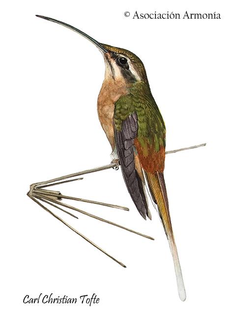 Planalto Hermit (Phaethornis pretrei)