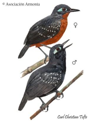 Plumbeous Antbird (Myrmelastes hyperythrus)