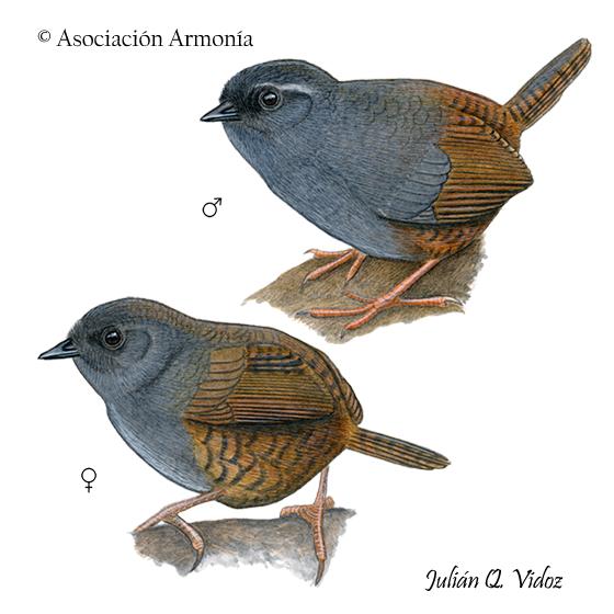 Puna Tapaculo (Scytalopus simonsi)