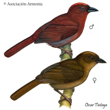 Red-crowned Ant-Tanager (Habia rubica)