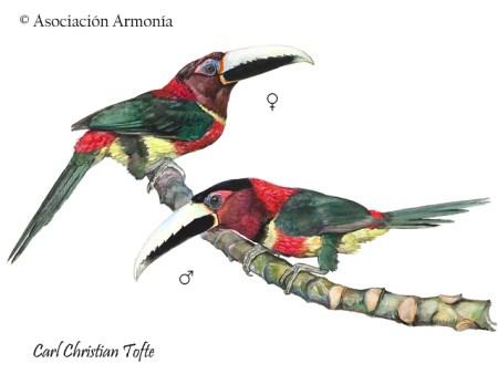 Red-necked Aracari (Pteroglossus bitorquatus)