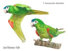 Red-shouldered Macaw (Diopsittaca nobilis)