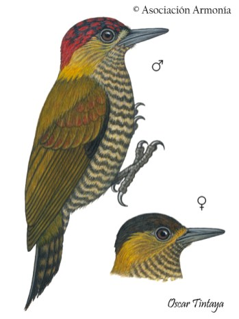 Red-stained Woodpecker (Veniliornis affinis)
