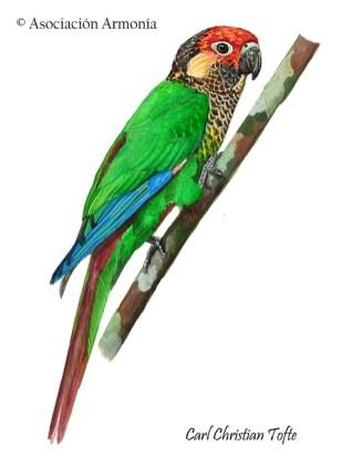 Rose-fronted Parakeet (Pyrrhura roseifrons)