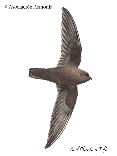 Rothschild's Swift (Cypseloides rothschildi)
