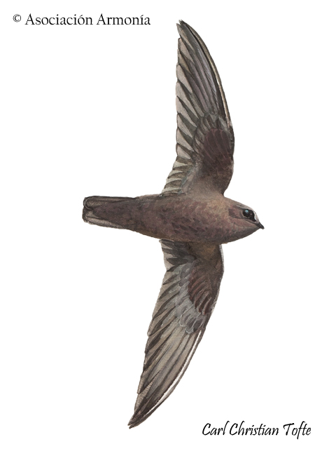 Rothschild's Swift (Cypseloides rothschildi)