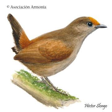 Rufous-fronted Antthrush (Formicarius rufifrons)