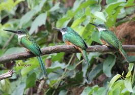 Rufous-tailed Jacamar (Galbula ruficauda) Copyright S Vargas