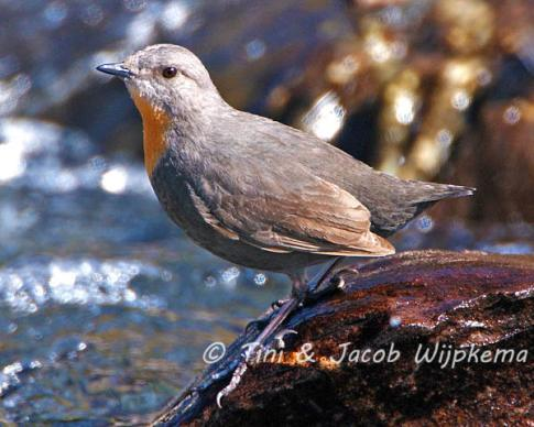 Rufous-throated Dipper, Yala, Jujuy, Argentina.0476a.