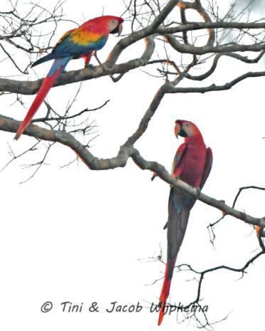 Scarlet Macaw (Ara macao). Copyright T&J Wijpkema.