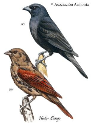 Screaming Cowbird (Molothrus rufoaxillaris)
