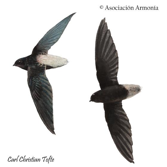 Short-tailed Swift (Chaetura brachyura)