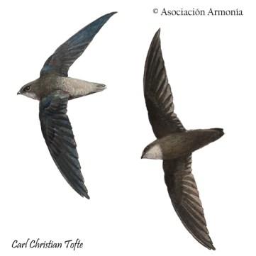 Sick's Swift (Chaetura meridionalis)