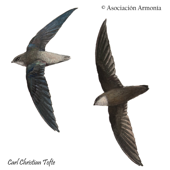 Sick's Swift (Chaetura meridionalis)
