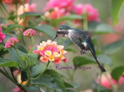 Slender-tailed Woodstar (Microstilbon burmeisteri). Copyright R Vargas