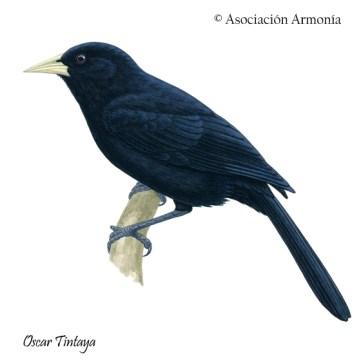 Solitary Black Cacique (Cacicus solitarius)