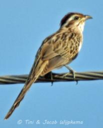Striped Cuckoo (Tapera naevia). Copyright T&J Wijpkema.