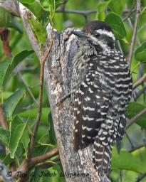 Striped Woodpecker (Veniliornis lignarius). Copyright T&J Wijpkema.