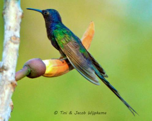 Swallow-tailed Hummingbird (Eupetomena macroura). Copyright T&J Wijpkema.