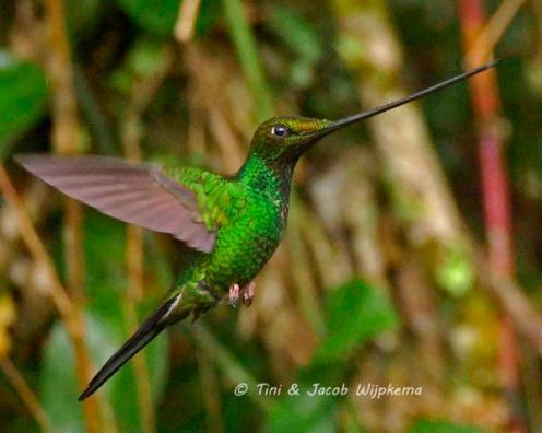 Sword-billed Hummingbird (Ensifera ensifera). Copyright T&J Wijpkema.