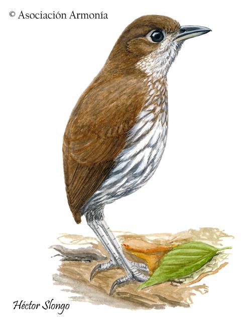 Thrush-like Antpitta (Myrmothera campanisona)