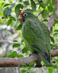 Tucuman Parrot (Amazona tucumana). Copyright T&J Wijpkema.