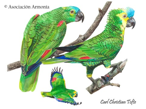 Turquoise-fronted Parrot (Amazona aestiva)