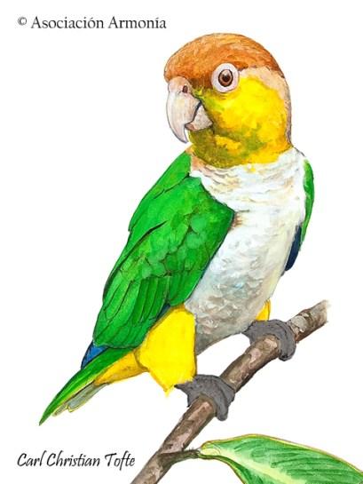 White-bellied Parrot (Pionites leucogaster)
