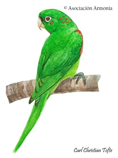 White-eyed Parakeet (Psittacara leucophthalmus)